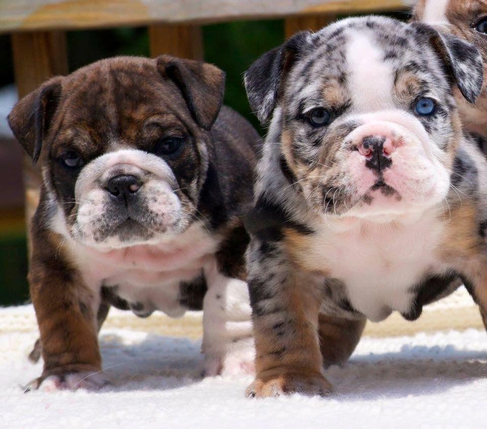 English Bulldog Puppies Englische Bulldoggenwelpen Welpen Englische Bulldogge