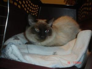 Adopt Sampson On Pet Finder Little Kittens Cats