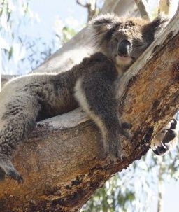 967663cb2fa2 A tired koala sleeping on a branch of the eucalyptus tree.