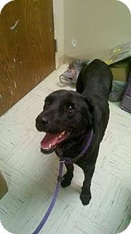 05/02/15 SL***03/29/15-LOVERBOY! - Labrador Retriever Mix. Meet Harley, a dog for adoption. #Beckley, WV http://www.adoptapet.com/pet/12019348-beckley-west-virginia-labrador-retriever-mix