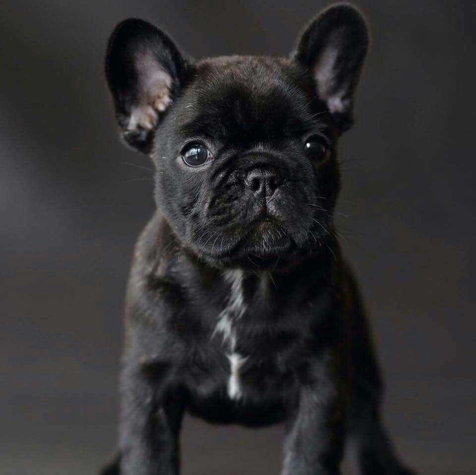 Cute Little Brindle Frenchie Puppy French Bulldog Puppies Brindle French Bulldog Cute French Bulldog