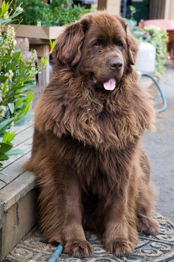 Favorite Breed Of Dog A True Gentle Giant This Is Bellatrix Whose Life Was Chronicled In Pictures By His Brown Newfoundland Dog Dog Breeds Large Dog Breeds
