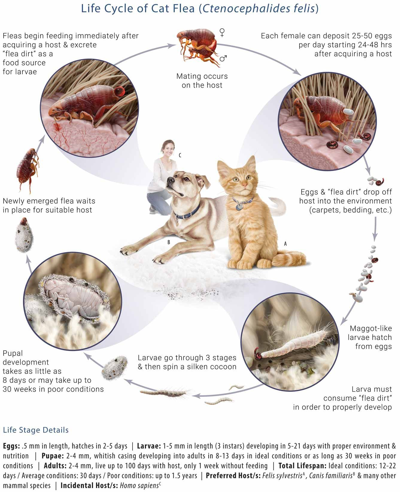 Life Cycle of a Cat Flea. Fleas begin feeding immediately