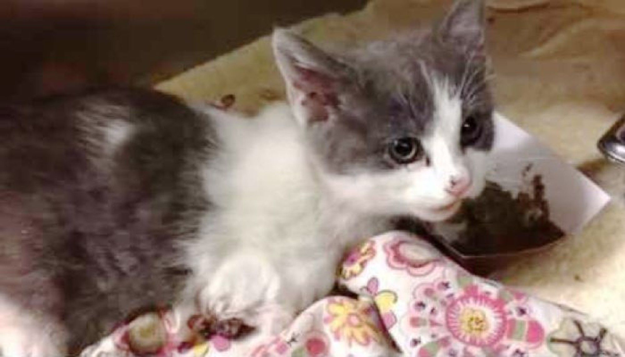 A Tiny 1 5 Pound Rescue Kitten Came To The Vet With A Seriously Injured Paw She Didn 39 T Want To Eat At All But When Som Your Pet Grey Kitten Kitten Rescue
