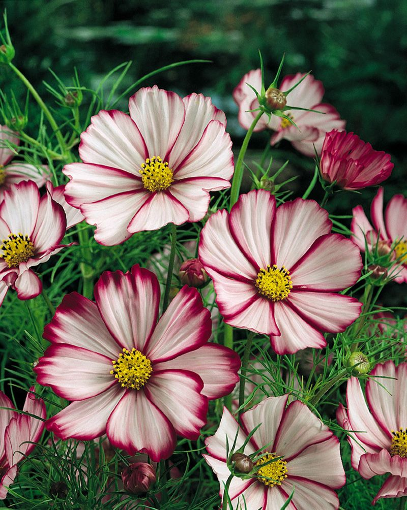 I Just Love Cosmos Such Beautiful Delicate And Plentiful Blooms And Lacy Foliage Cosmos Flowers Summer Flowers Garden Sun Loving Plants