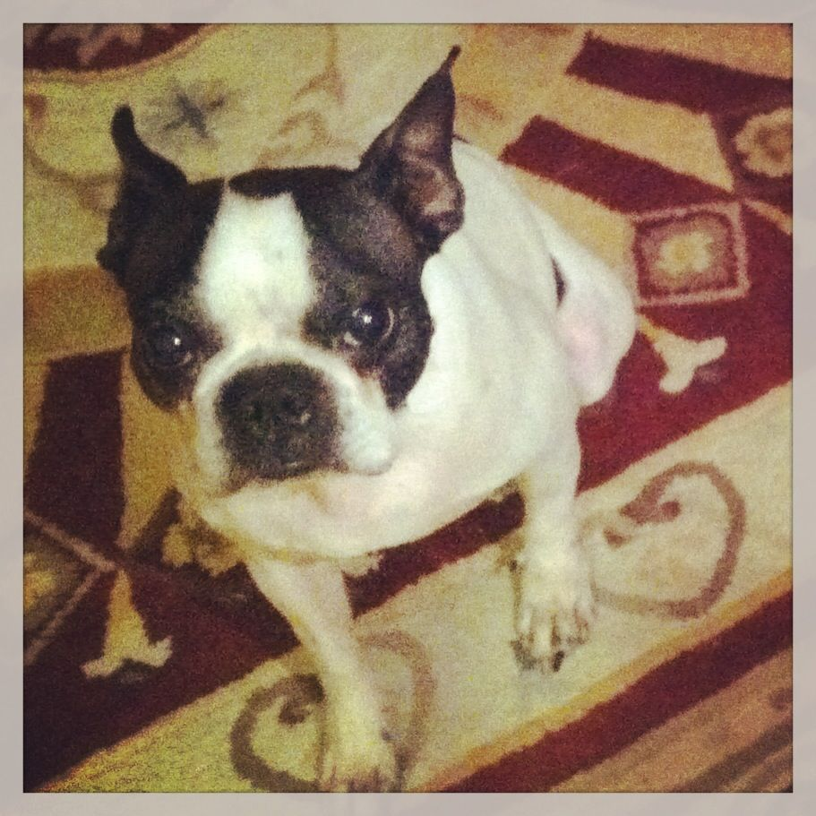 Come On Give Me The Treat Fifi Terrier Boston Terrier Dogs