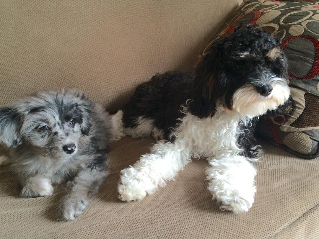 Aussiedoodle And Cavapoo Aussie Doodle Puppy Cavapoo Puppies