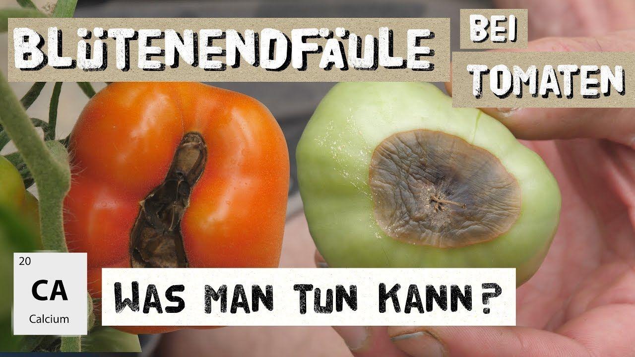 Tomaten Blütenendfäule