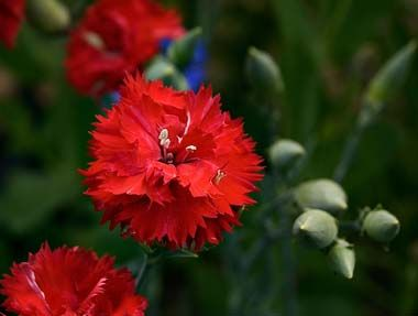 Ohio State Flower Red Carnation Red Carnation Carnations Dianthus Caryophyllus