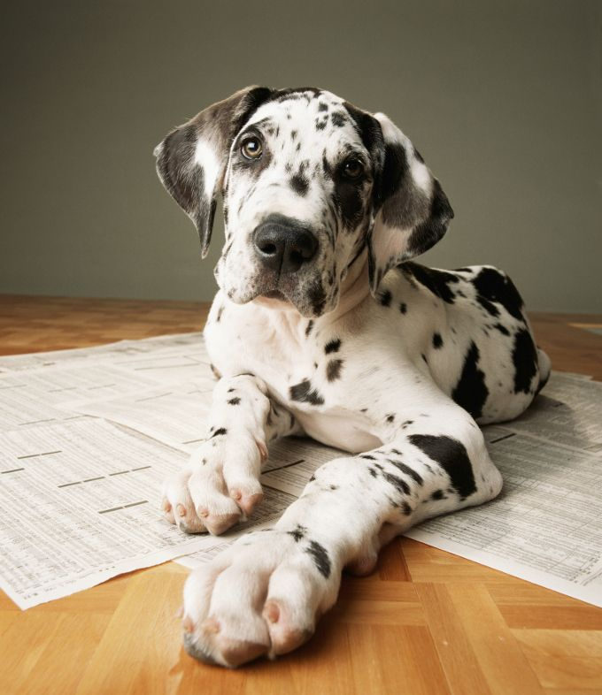Everything Great Dane Puppies Adorable Pics Dane Puppies