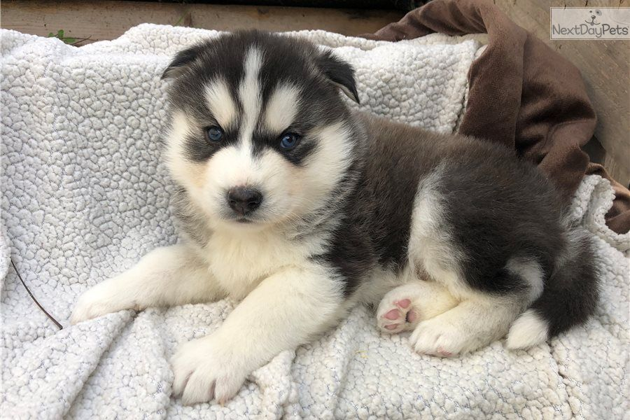 I Am A Cute Siberian Husky Puppy Looking For A Home On