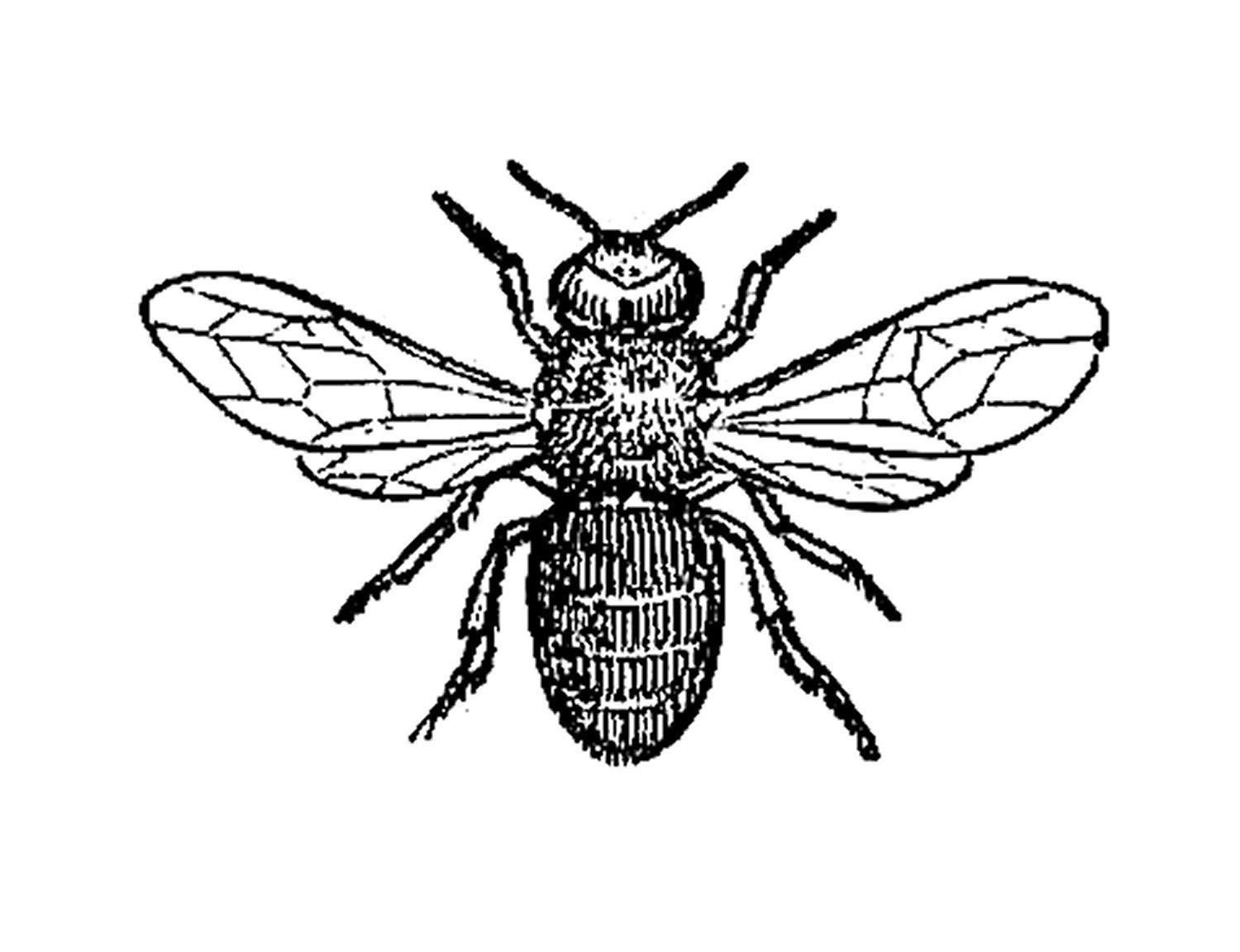Antique Images: Insect Clip Art: Black and White Illustration of