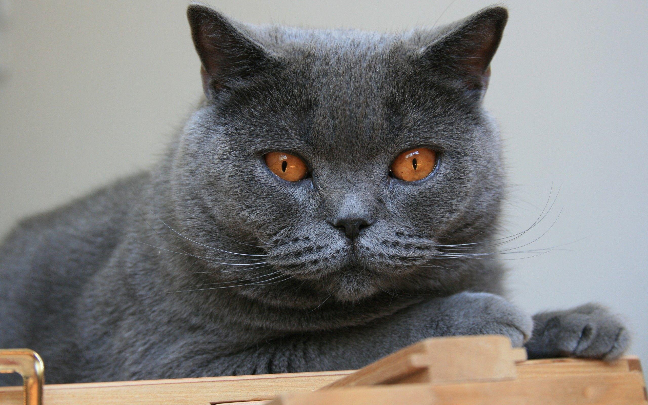 картинки на рабочий стол кошки британцы