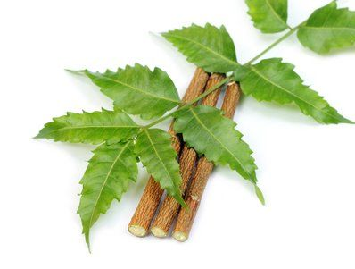 few interesting secrets about neem in saudi arabia thousands of  few interesting secrets about neem in saudi arabia thousands of neem trees have been planted