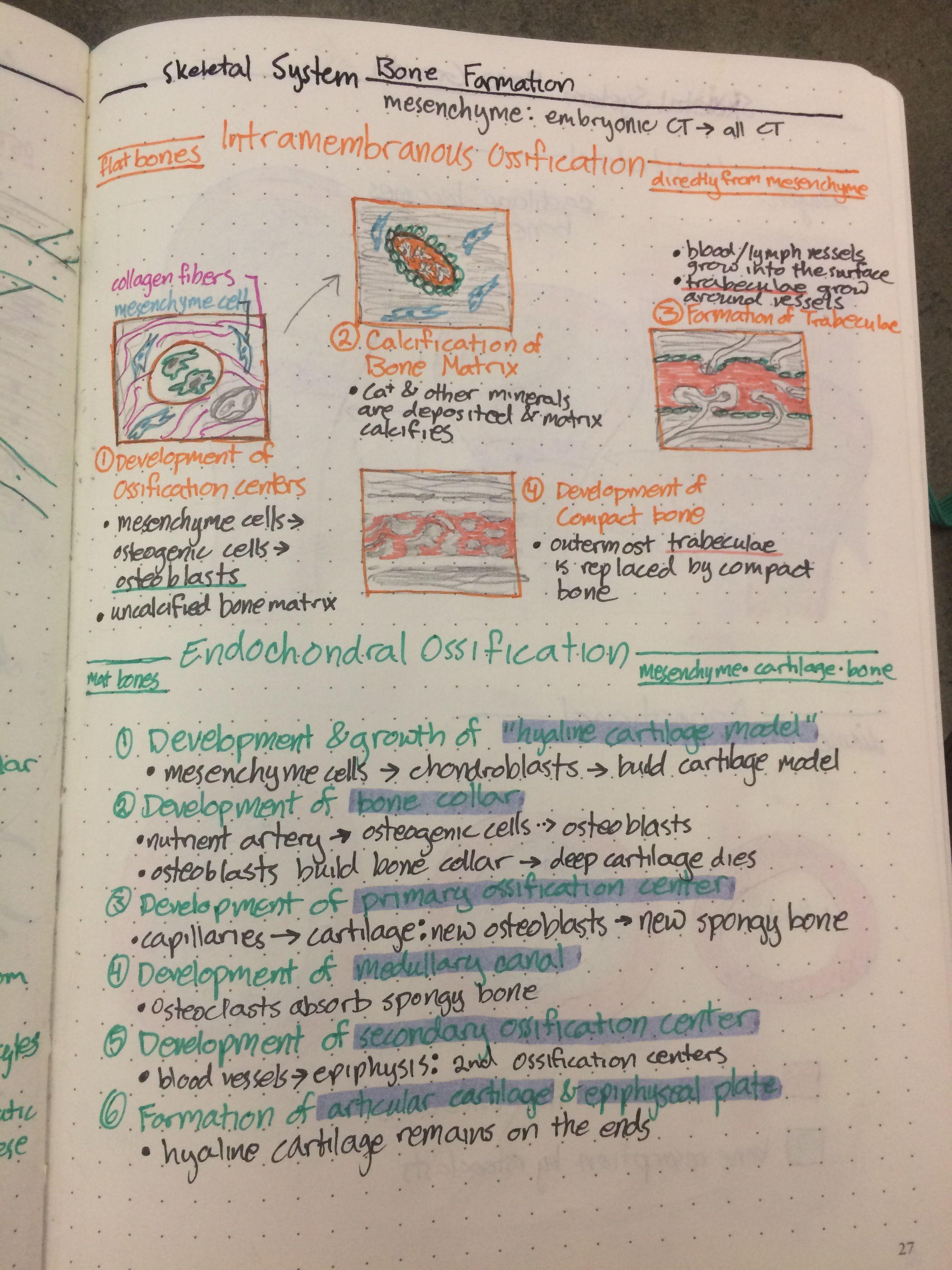 Skeletal System Bone Formation Nursing School Notes Biology Notes Nursing Notes