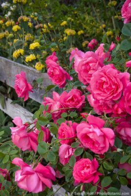 Photos In The Rose Garden Photobotanic Rose Climbing Roses Beautiful Roses