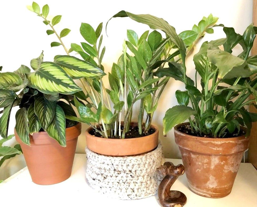 Plant Gang Houseplants Zz Plant Care Tips Blog At Www