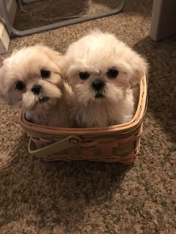 Shih Tzu Puppy For Sale In Plymouth Mi Adn 43495 On Puppyfinder