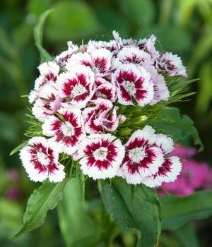 L 39 oeillet po te ces jolis arbustes et plantes qui ne - Plantes qui ne craignent pas le gel ...