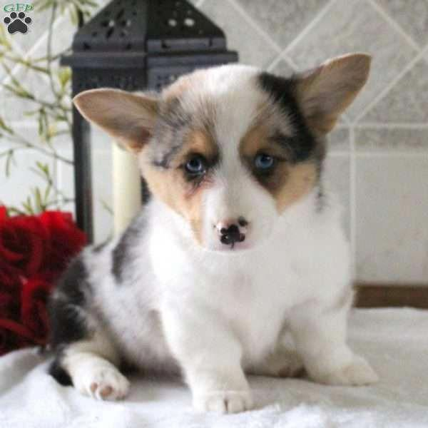 Pembrokewelshcorgipuppy Corgi Puppies For Sale Pembroke Welsh Corgi Puppies Pembroke Welsh Corgi