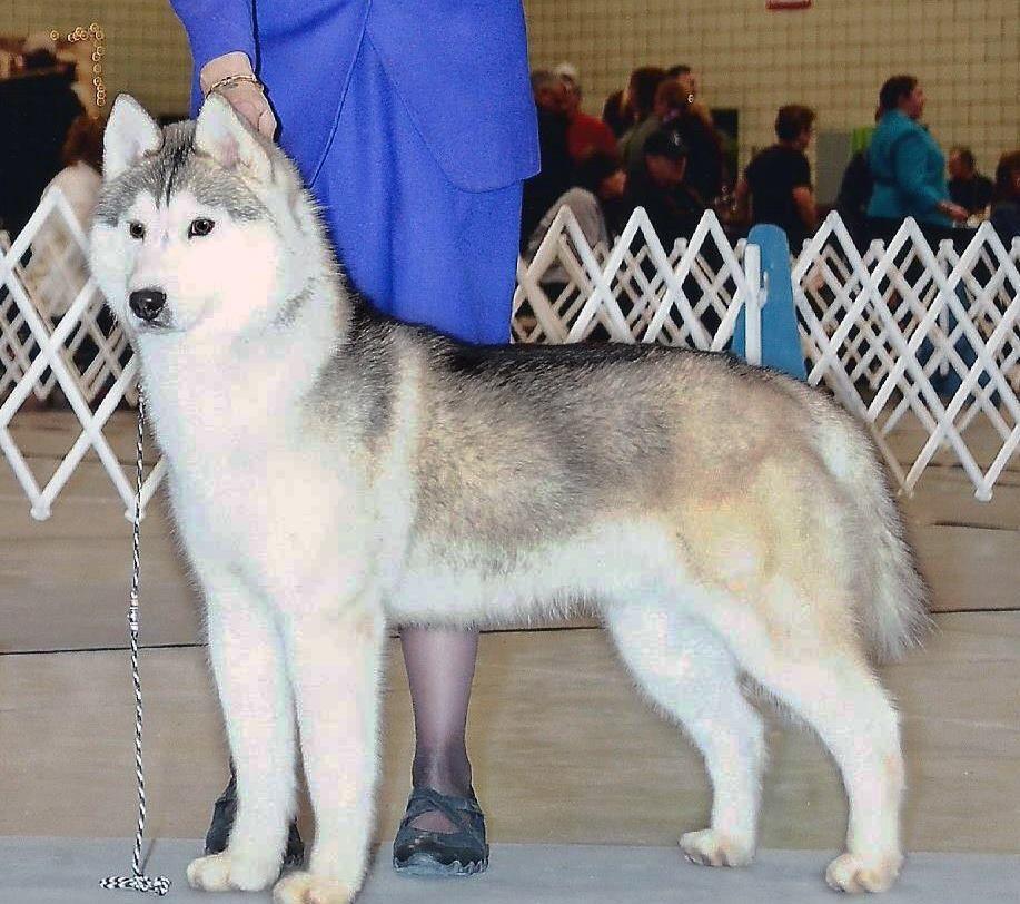 Lost Dog Fort Dodge Siberian Husky Male Date Lost 09 04 2014