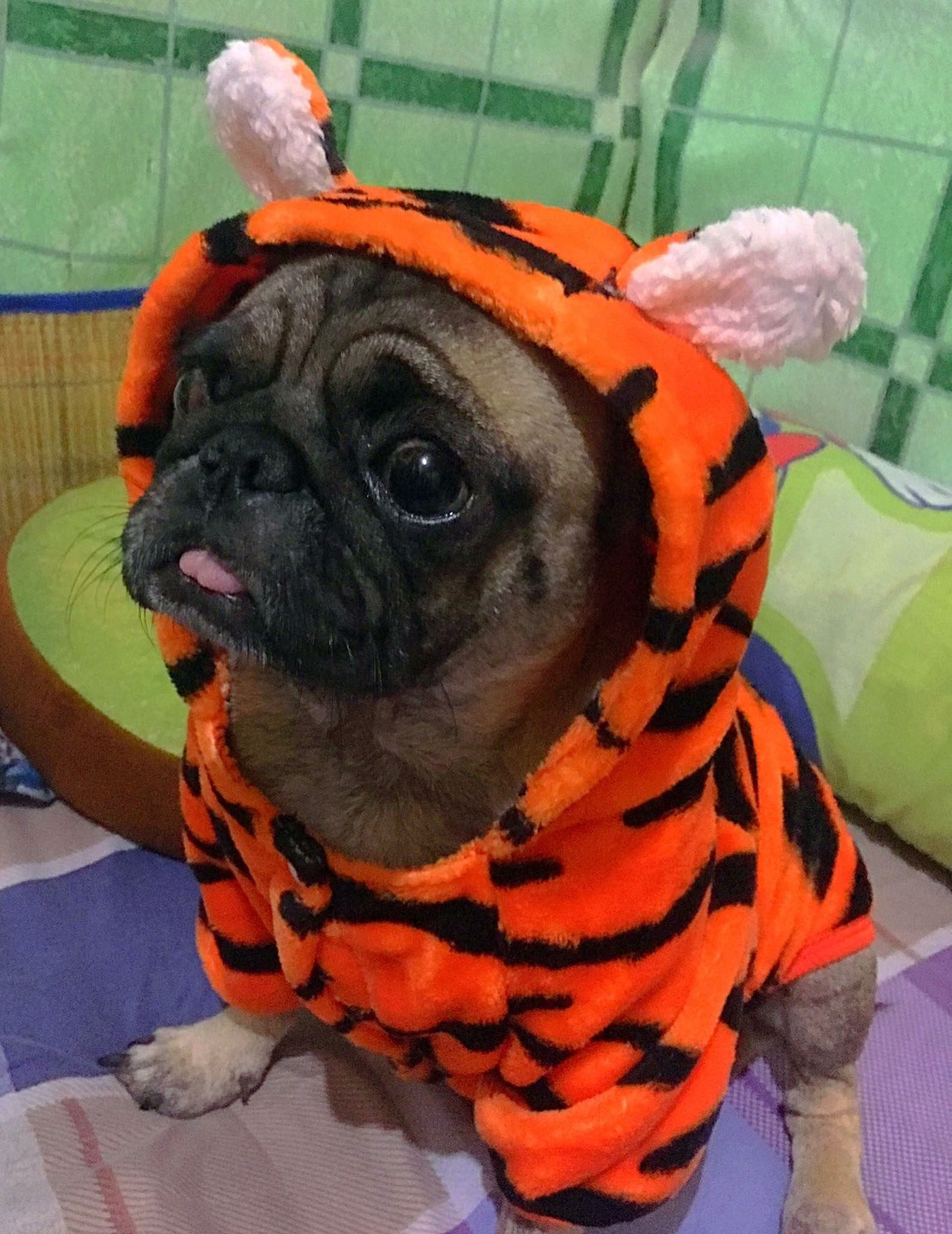 Once I Was A Tiger Pugs In Costume Cute Pugs Pet Costumes