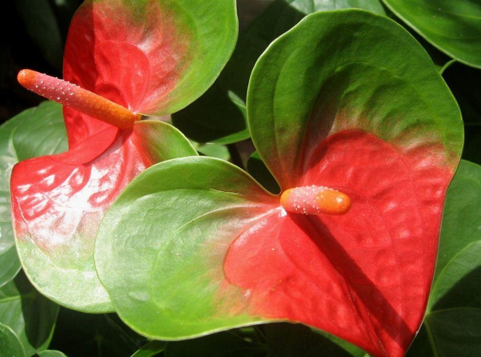 Anturios Anturios Flores Exoticas Flores Tropicales