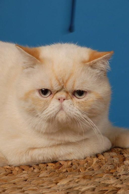 Chou-Chou Exotic Shorthair Red Tabby Point | EXOTICS!    CATS THAT