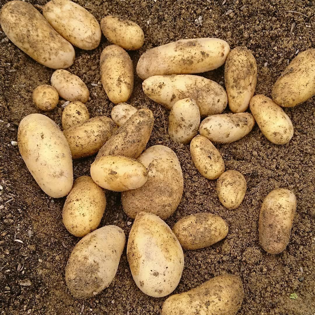 How Long Does It Take To Grow Potatoes I M Here To Give You The Answer Plus We Re Going To Briefly Discuss The Possible Growing Potatoes Potatoes Vegetables