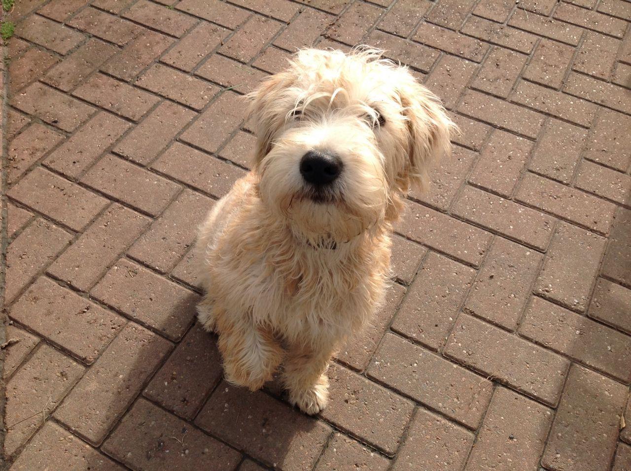 Irish Wheaten Terrier Google Search