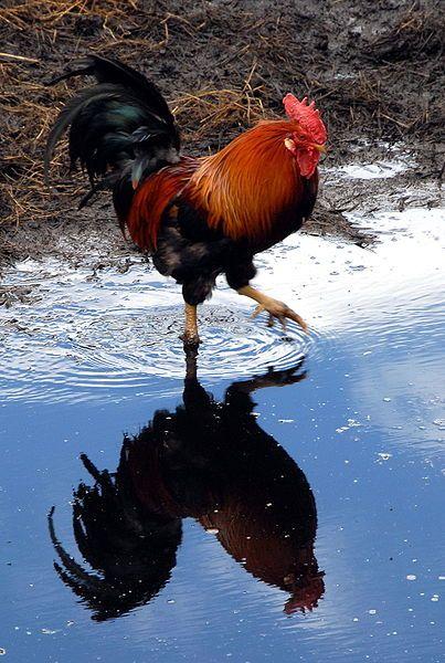 Gallo,preparándose para un bañito,que lindo.                                                                                                                                                                                 Más