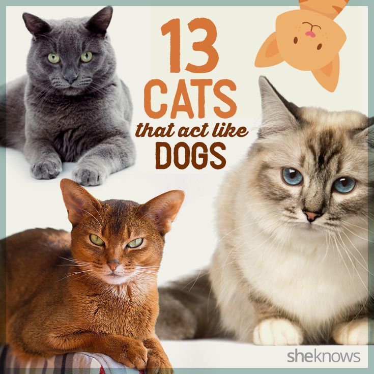 Believe it or not, these cat breeds are just as cuddly