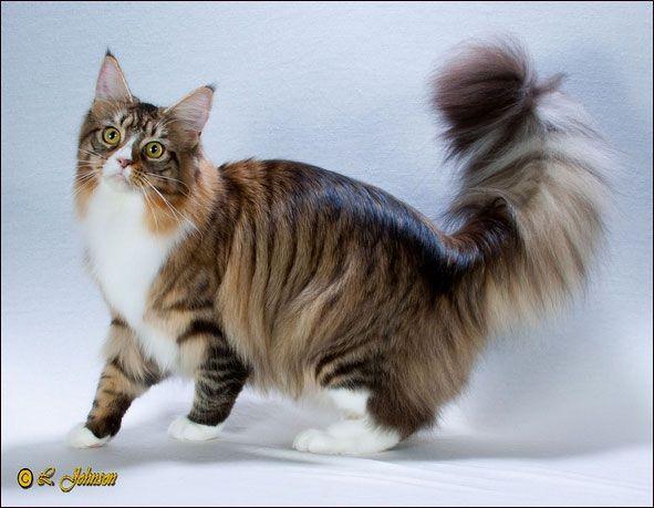 Mainecoon Black Tabby Mackerel White Cats Grc Dewisplear Mary