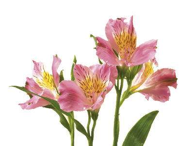 Alstroemeria Flower Meaning Google Search In 2020 Flower Meanings Alstroemeria Peruvian Lilies