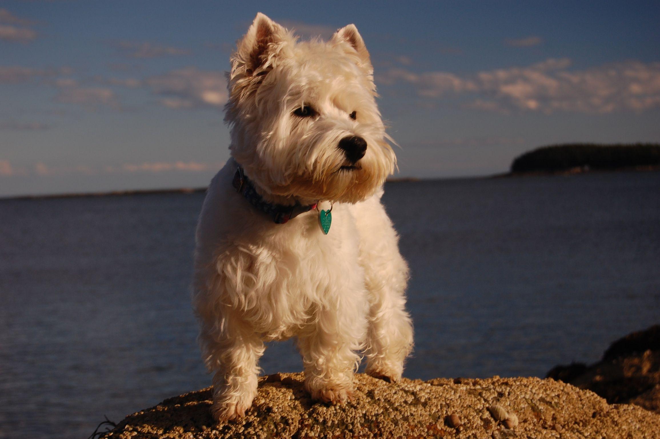 Mackenzie The Westie In Maine Westies White Dogs Yorkie