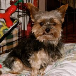 Adopt Mr Jiggs On With Images Yorkie Dogs Yorkie Yorkshire Terrier Dog