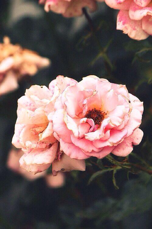 Rose? Camilla? Rose of Sharon?