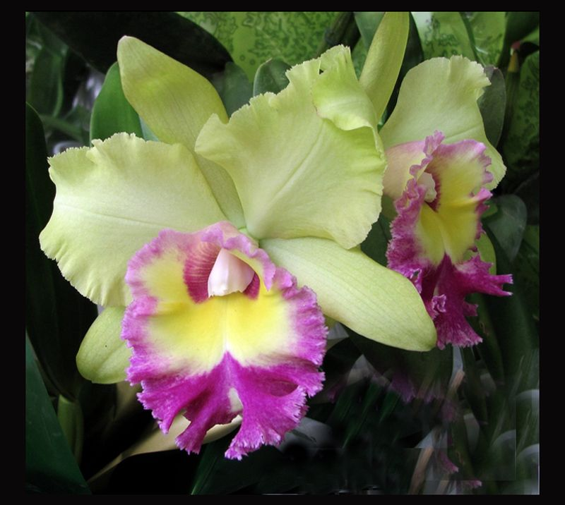 Treklens Cattleya Orchid Hybrid Photo Cattleya Orchid Orchid Flower Beautiful Orchids