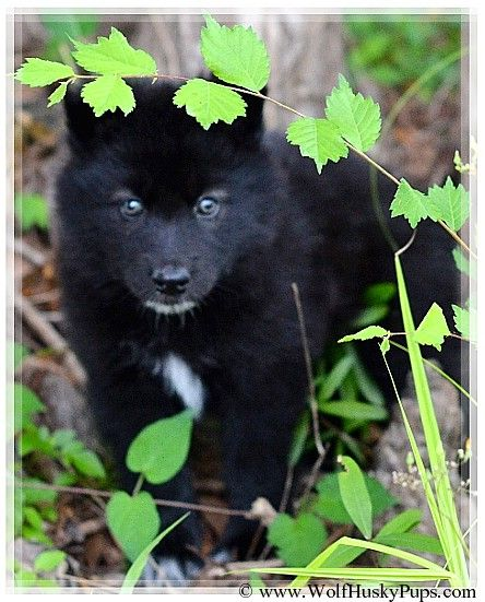 Black Wolf Hybrid Pup In Tampa Florida Wolf Hybrid Dogs Wolf
