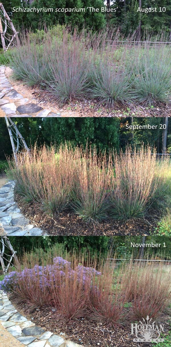Here's a fun look at the many colors of native grass The Blues Little Bluestem (Schizachyrium scoparium 'The Blues'). Photos taken at the Discovery Garden, Sarah P. Duke Gardens in Durham, North Carolina.