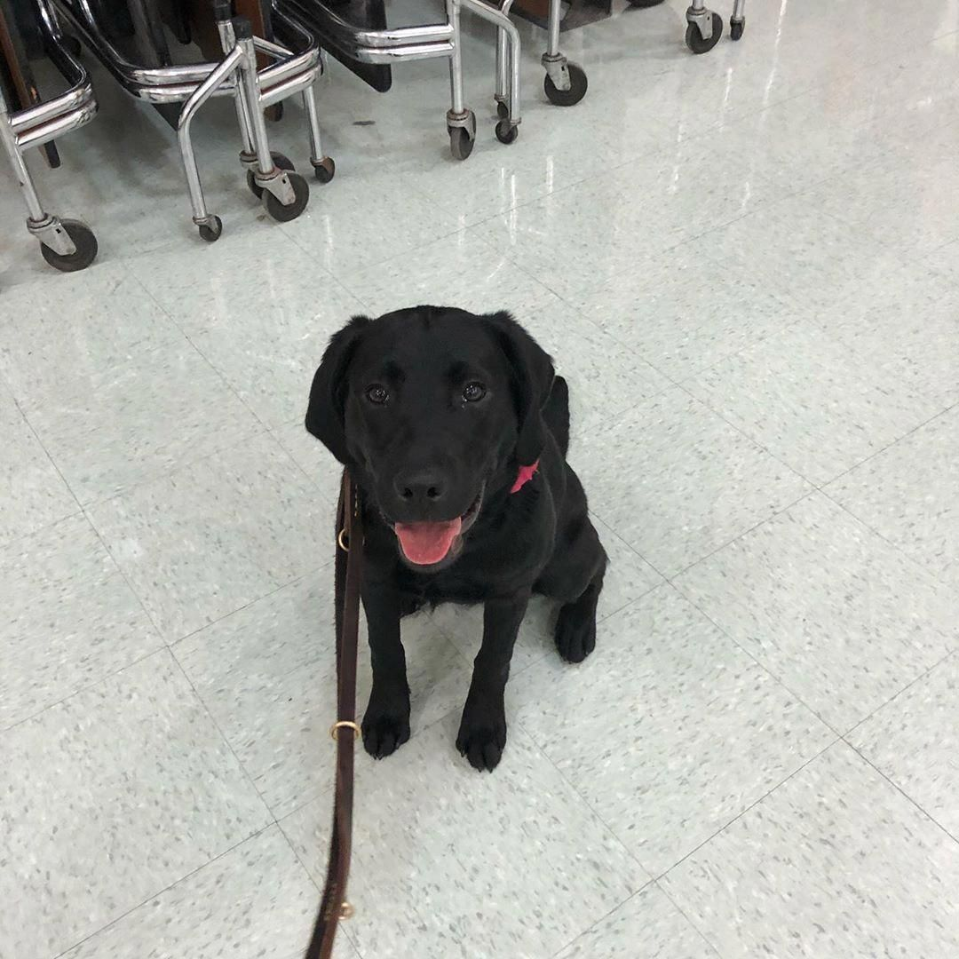 Fantastic Lab Pups Info Is Offered On Our Website Have A Look And You Will Not Be Sorry You Did In 2020 Labrador Retriever Puppies Retriever Puppy Lab Puppies