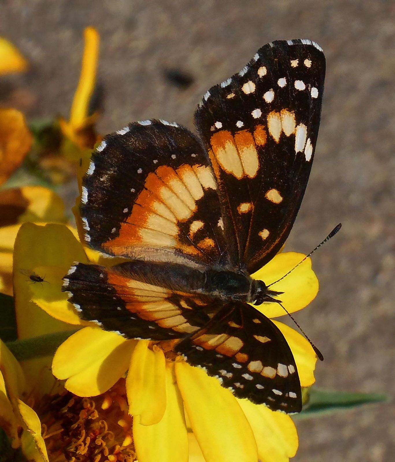 Chlosyne nycteis - Silvery checkerspot