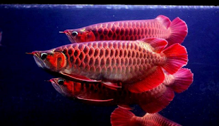 Basic Warna Ikan Arwana Red Ikan Ikan Akuarium Akuarium