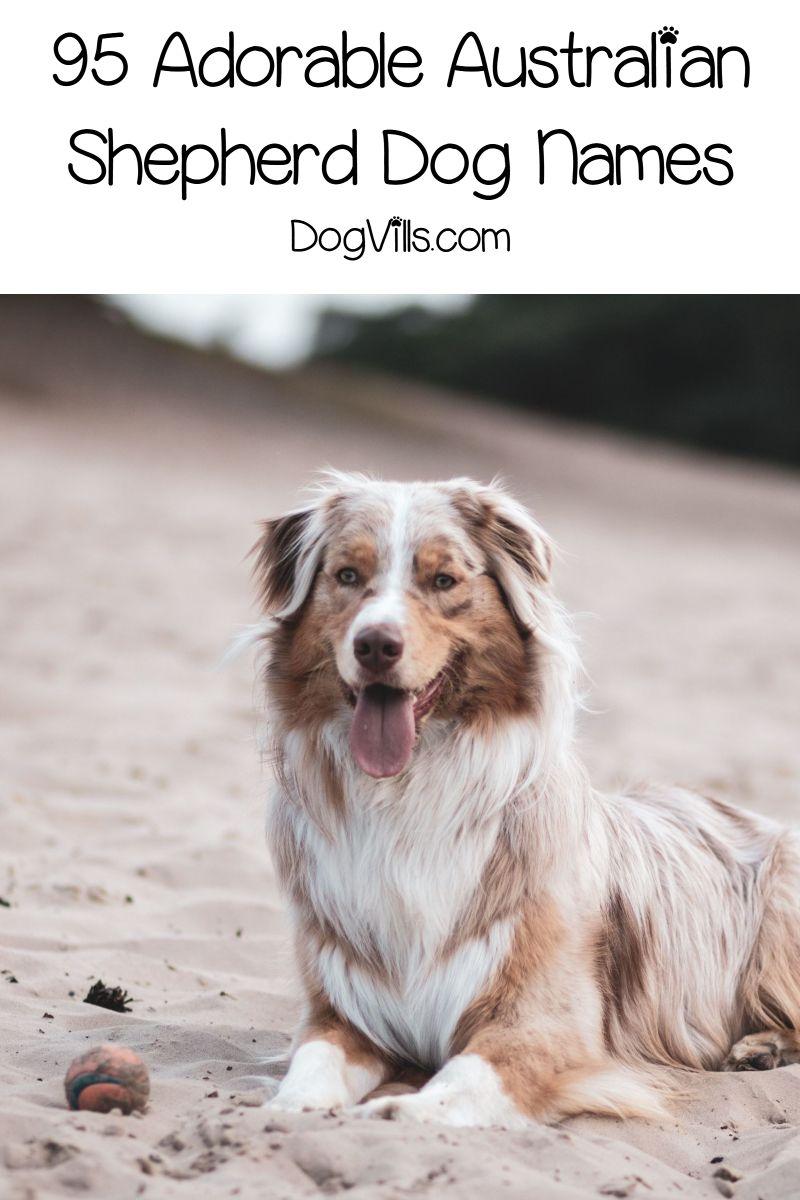 95 Adorable Australian Shepherd Dog Names Dogvills In 2020 Dog Names Australian Shepherd Dogs Girl Dog Names