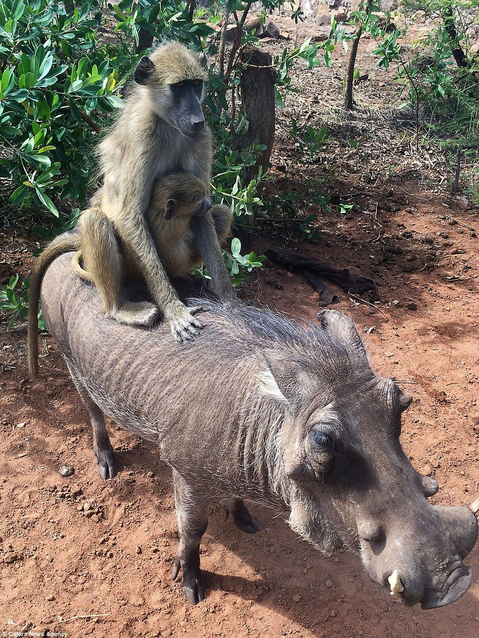 warthog is friends with two baboon pals who love to ride around on
