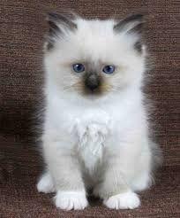 Ragdoll Kittens Google Search Cutest Kitten Breeds Kitten