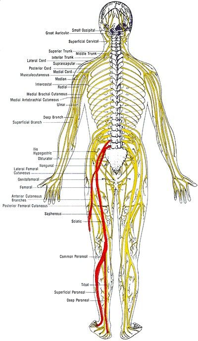 Sciatica /  Nerve Pain / Nervous System.