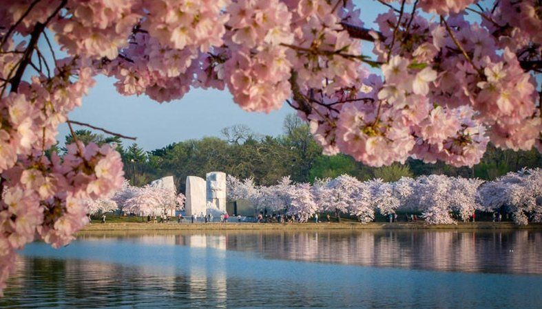 Things To Know About The Cherry Blossoms In Washington Dc Washington Dc Cherry Blossom Festival Cherry Blossom Free Things To Do