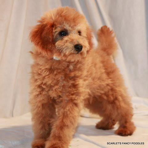 Scarlets Fancy Poodles Apricot Miniature Poodle Red And