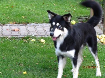 Husky Border Collie Mix Puppies Border Collie h...